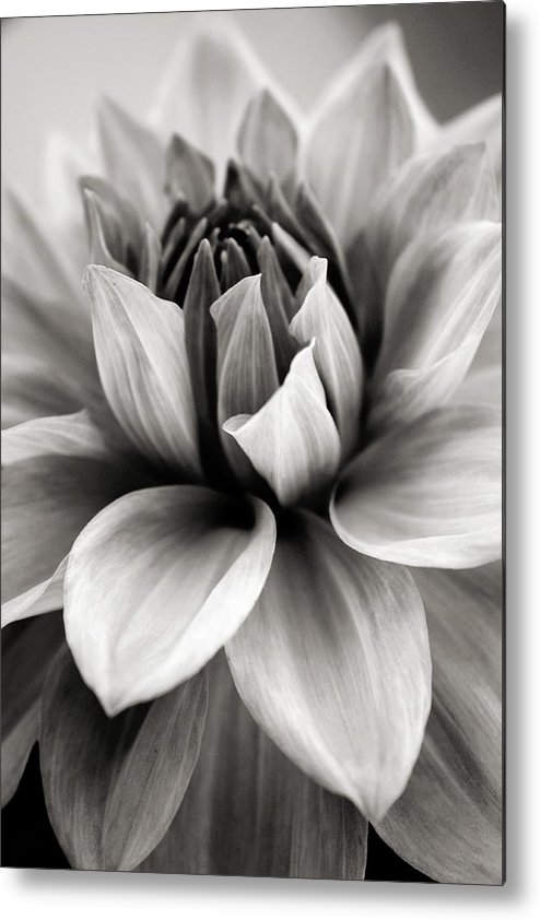 Bw Metal Print featuring the photograph Black And White Dahlia by Danielle Miller