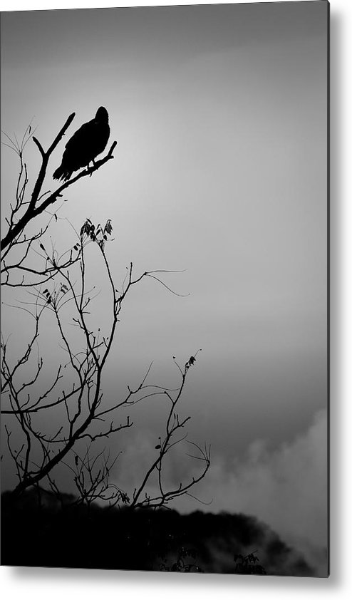 Black Metal Print featuring the photograph Black Buzzard 7 by Teresa Mucha