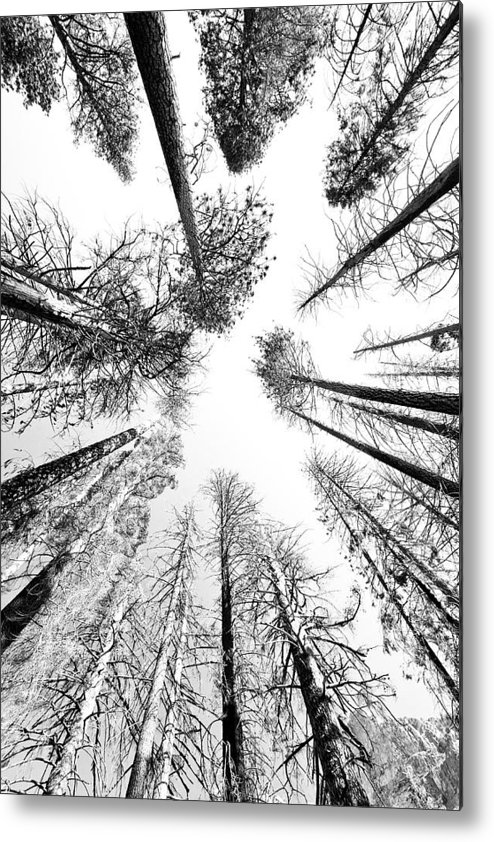 Sequoia National Park Metal Print featuring the photograph Black N White Sky-trees by Rick Pham