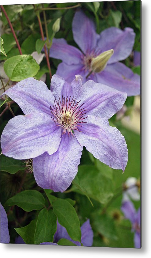 Clematis Metal Print featuring the photograph Blue Clematis by Margie Wildblood