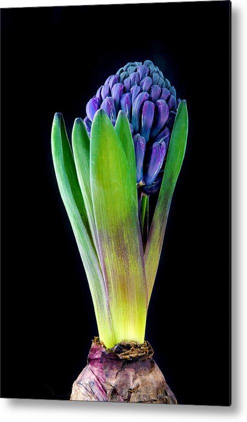 Flower Metal Print featuring the photograph Blue Hyacinth by Jacek Sopotnicki