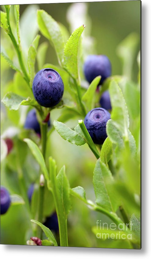 Blueberry Metal Print featuring the photograph Blueberry Shrubs by Michal Boubin