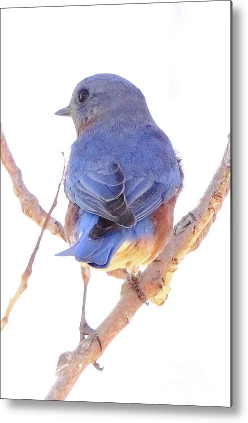 Animal Metal Print featuring the photograph Bluebird On White by Robert Frederick