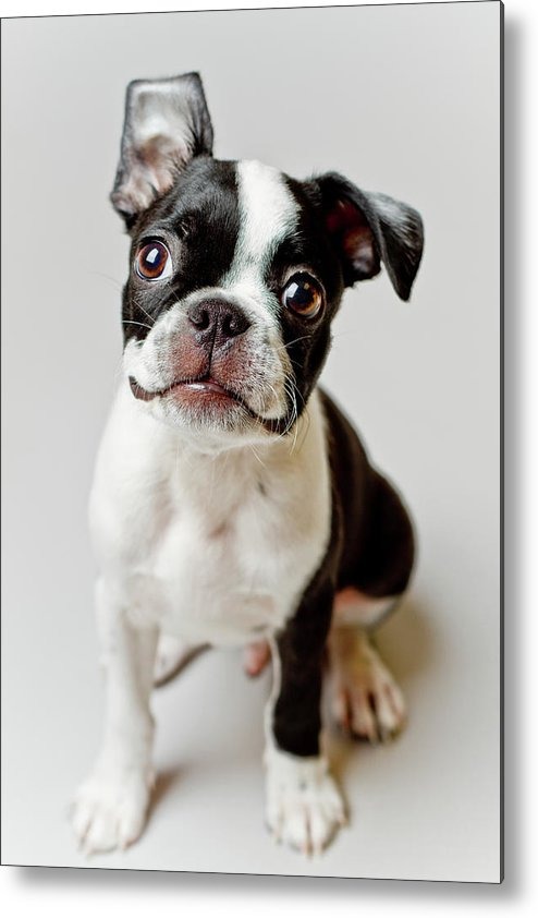Vertical Metal Print featuring the photograph Boston Terrier Dog Puppy by Square Dog Photography