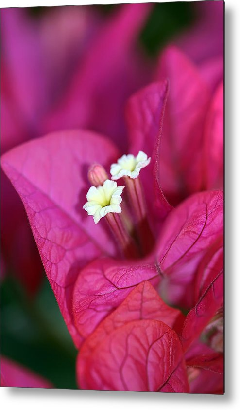 Bougainvillea Metal Print featuring the photograph Bougainvillea Burst by Lesley Smitheringale