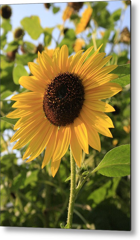 Sunflowers Metal Print featuring the photograph Brilliant By Association by Alan Rutherford