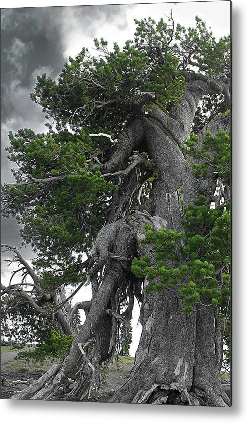 Bristlecone Pine Trees Metal Print featuring the photograph Bristlecone Pine Tree On The Rim Of Crater Lake - Oregon by Christine Till