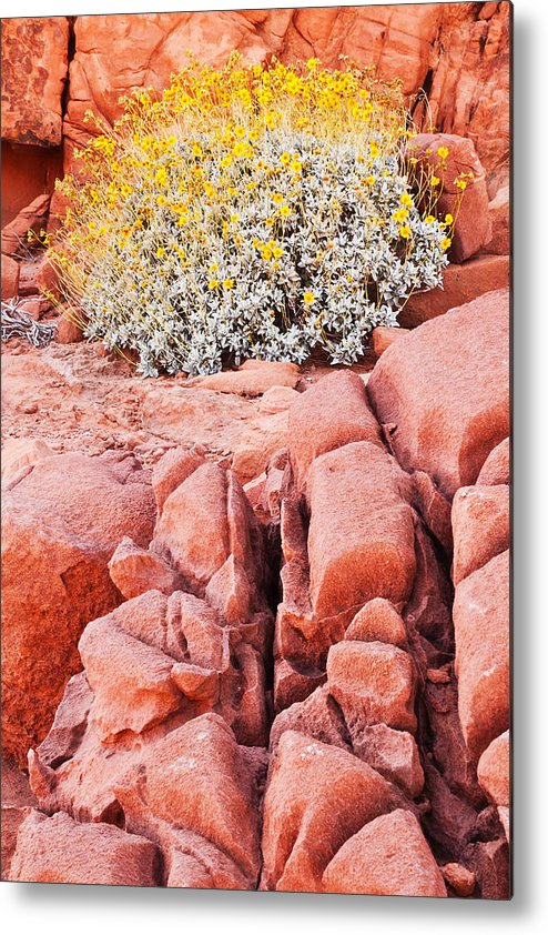 Valley Of Fire Metal Print featuring the photograph Brittlebush Bloom by James Marvin Phelps