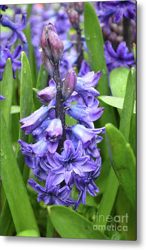 Hyacinth Metal Print featuring the photograph Budding And Flowering Purple Hyacinth Flower by DejaVu Designs