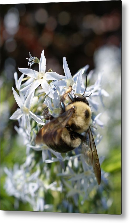 Bumble Bee Metal Print featuring the photograph Bumble Bee by Tina McKay-Brown