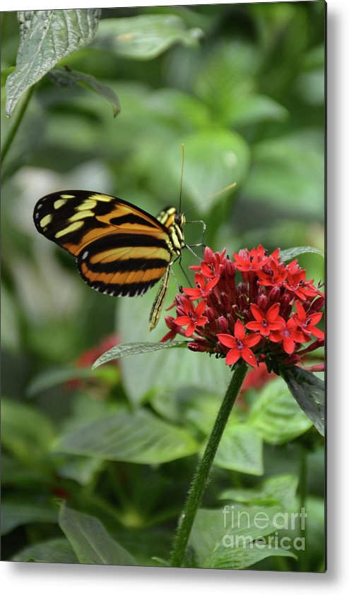 Butterflies Metal Print featuring the photograph Butterfly Orange And Yellow by Jann Denlinger