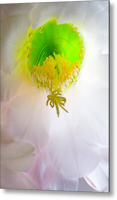 Cactus Bloom Metal Print featuring the photograph Cactus Bloom Number Six by Bob Coates