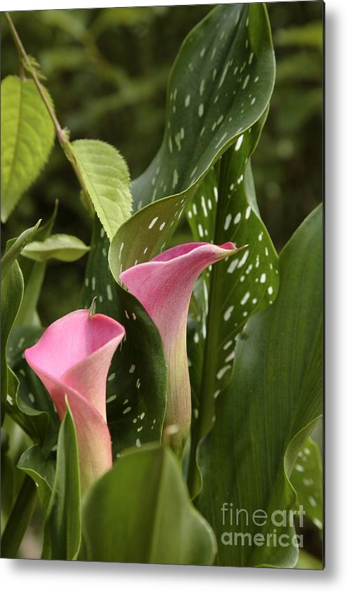 New England Metal Print featuring the photograph Calla Lilies by Erin Paul Donovan