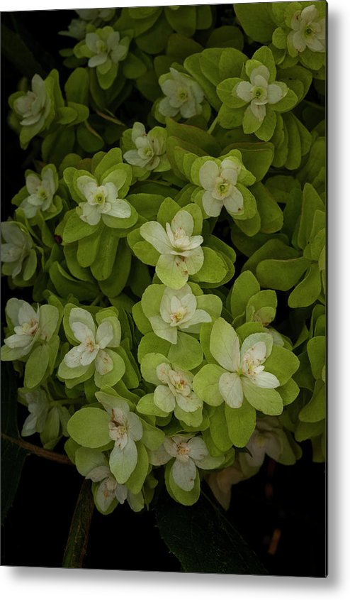 Metal Print featuring the photograph Cascading White Blossoms 3 by Greg Plachta