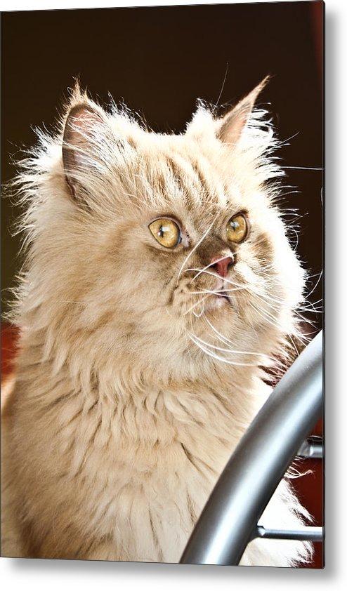 Cat Metal Print featuring the photograph cat by Buta Gabriel