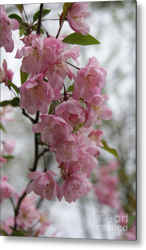 Cherry Blossoms Metal Print featuring the photograph Cherry Blossoms 2 by Tina McKay-Brown