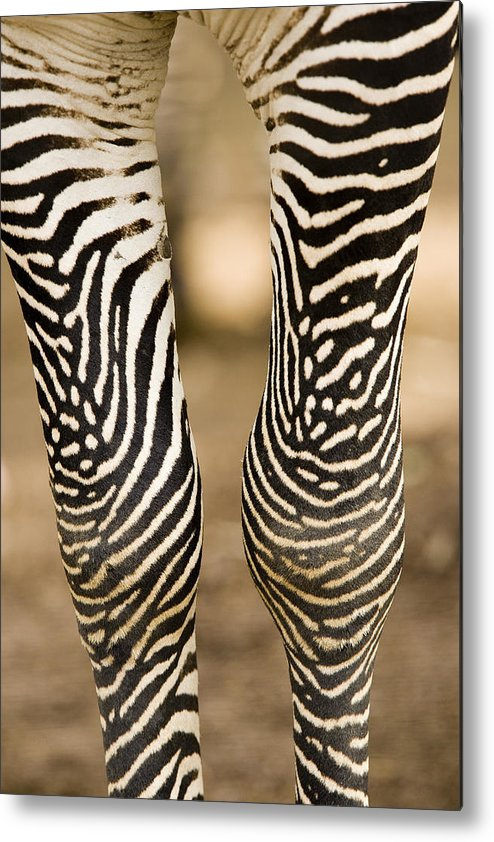 Captive Animals Metal Print featuring the photograph Closeup Of A Grevys Zebras Legs Equus by Tim Laman