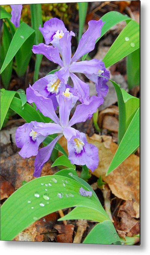 Iris Metal Print featuring the photograph Crested Dwarf Iris by Alan Lenk