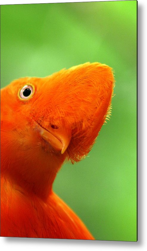 Orange Bird Metal Print featuring the photograph Curious by Linda Russell