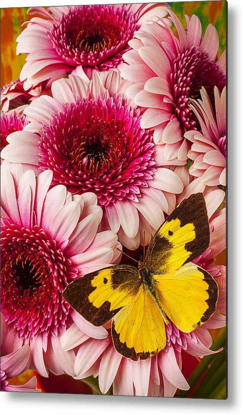 Dog Face Butterfly Butterflies Metal Print featuring the photograph Dog Face Butterfly On Pink Mums by Garry Gay