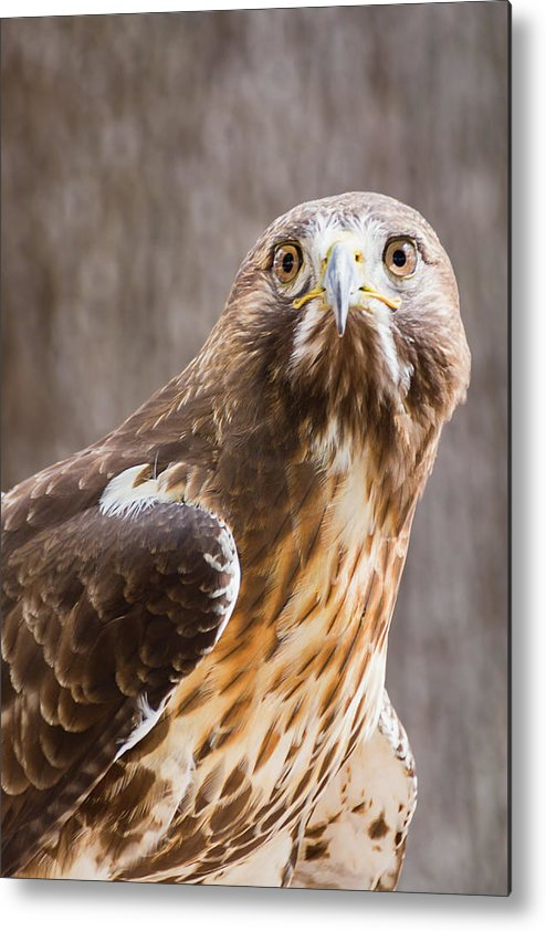 Red-tailed Hawk Metal Print featuring the photograph Dreaming Of Flight by Dawn Currie