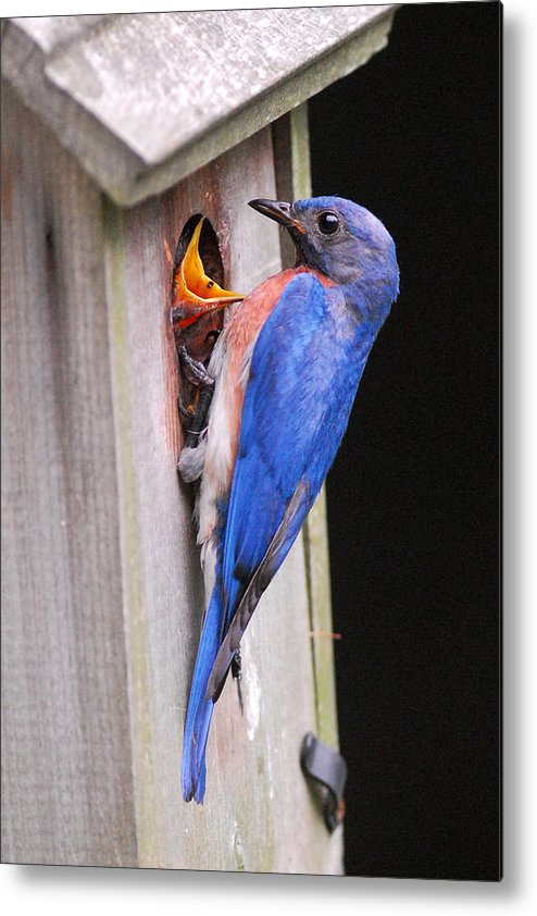 Songbird Metal Print featuring the photograph Eastern Bluebird And Chick by Alan Lenk