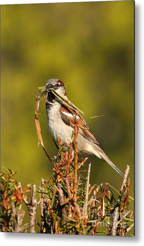 Sparrow Metal Print featuring the photograph English Sparrow Bringing Material To Build Nest by Max Allen