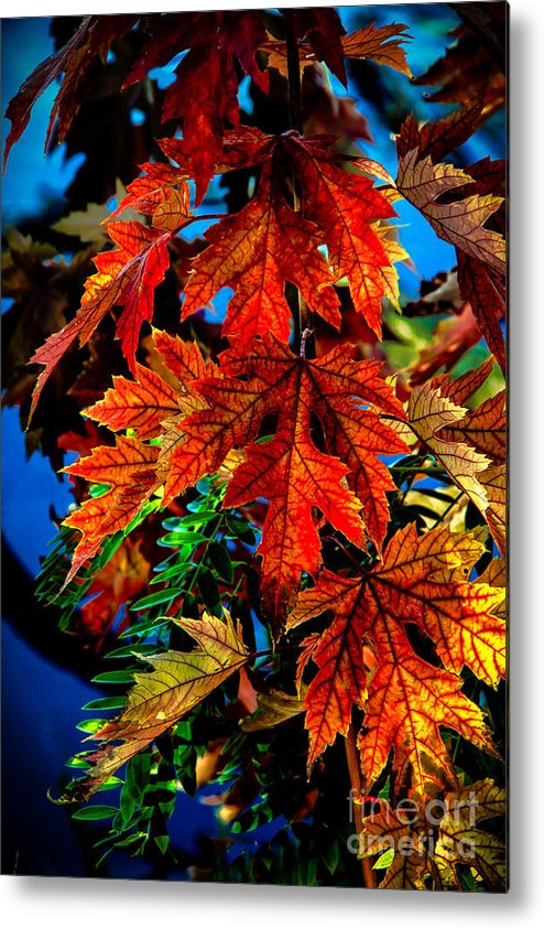 Maple Metal Print featuring the photograph Fall Reds by Robert Bales