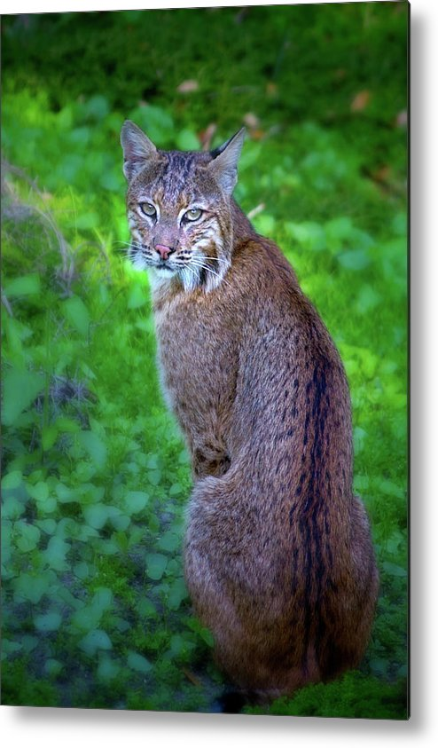 Bobcat Metal Print featuring the photograph Female Bobcat by Mark Andrew Thomas
