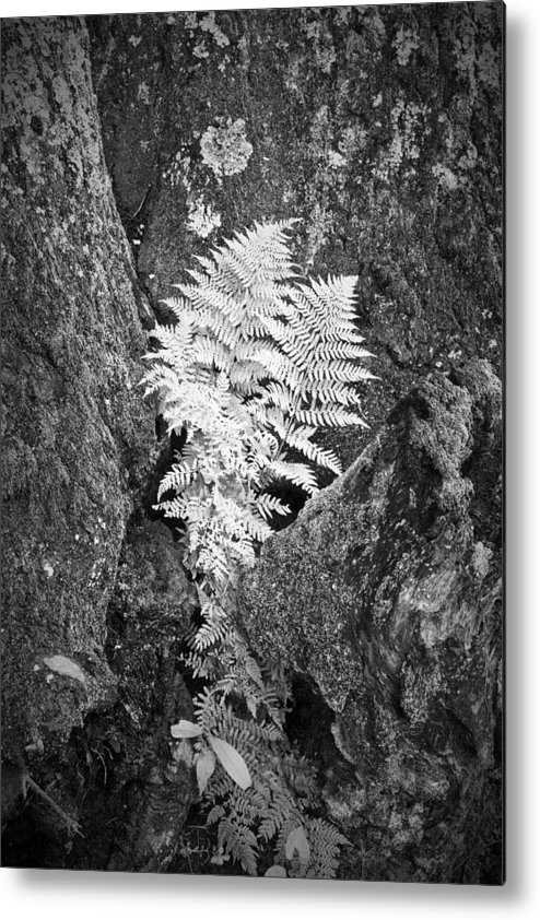 Fern Metal Print featuring the photograph Fernglow by Harry H Hicklin