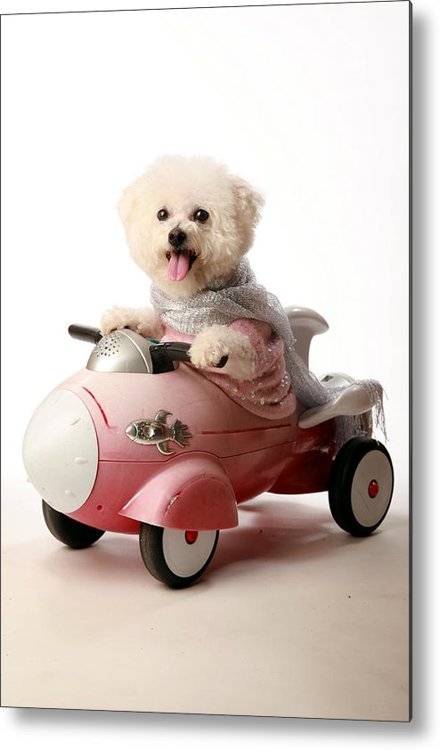 Akc Metal Print featuring the photograph Fifi The Bichon Frise And Her Rocket Car by Michael Ledray