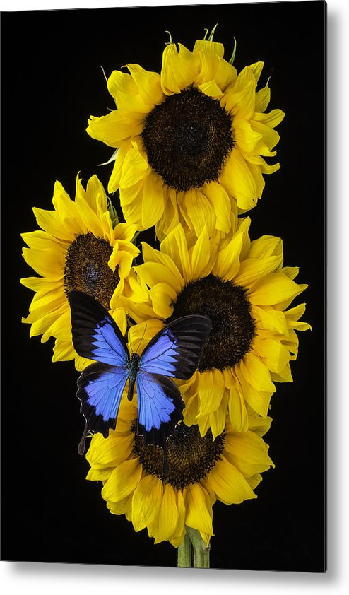 Vertical Metal Print featuring the photograph Four Sunflowers And Blue Butterfly by Garry Gay