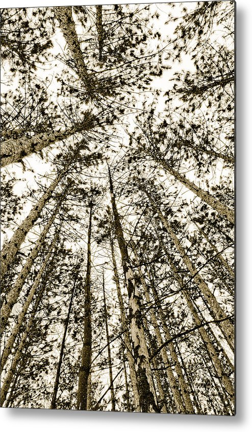 Pine Trees Metal Print featuring the photograph Fulfillment by Linda McRae