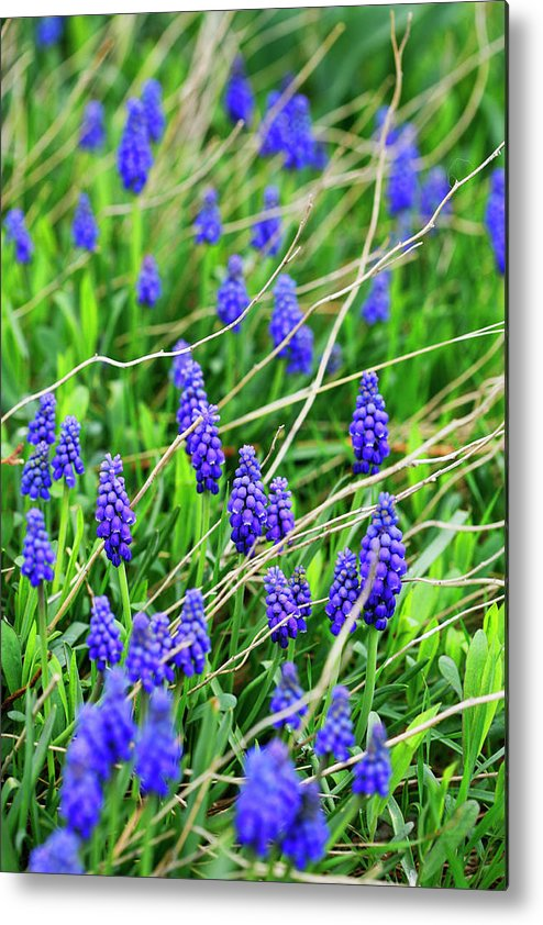 Grape Metal Print featuring the photograph Grape Hyacinth by Marilyn Hunt