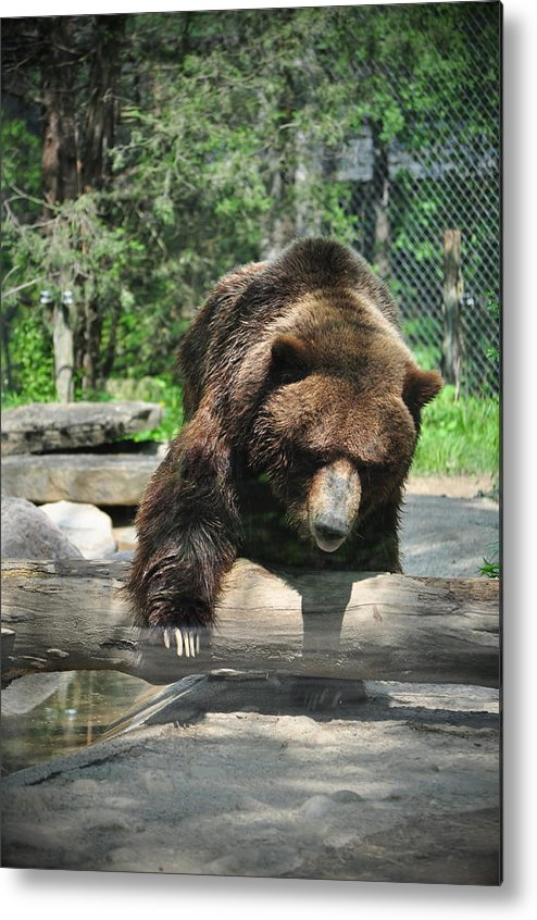 Grizzly Metal Print featuring the photograph Great Grizzly's by Chrystal Darnell
