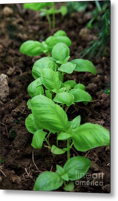 Salad Metal Print featuring the photograph Green Arugula Growing In The Garden by Igor Grey