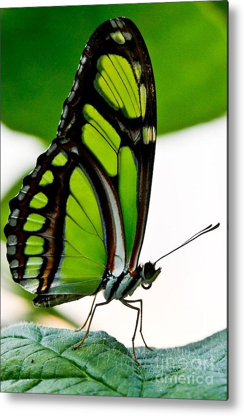 Green Butterfly Metal Print featuring the photograph Green Goddess by E Mac MacKay