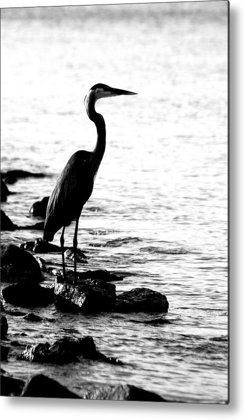 Great Blue Heron Bird Fishing Shre Rocks Water Black Nd White B&w Bw Metal Print featuring the photograph Heron Fishing by Edward Loesch