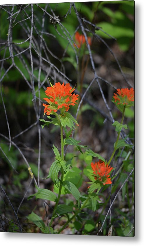 Wildflower Metal Print featuring the photograph Indian Paint Brush 2 by Whispering Peaks Photography
