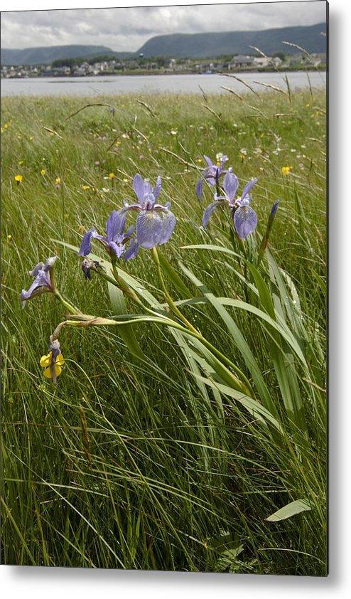 Purple Iris Metal Print featuring the photograph Irises By The Sea by Sven Brogren