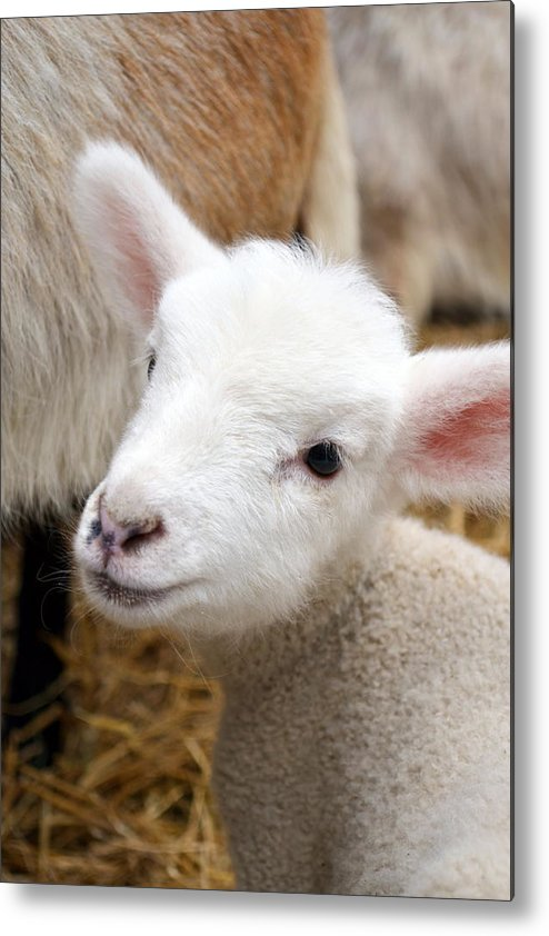 Grass Metal Print featuring the photograph Lamb by Michelle Calkins