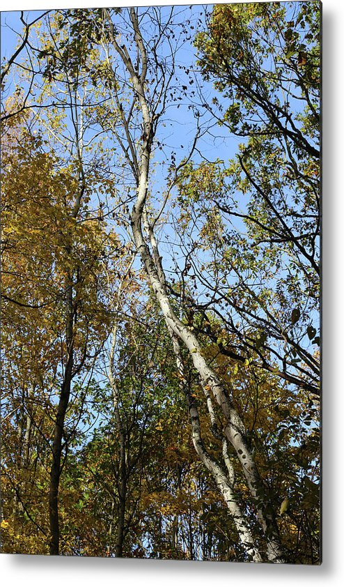 Fall Metal Print featuring the photograph Leaning Birch by Mary Bedy