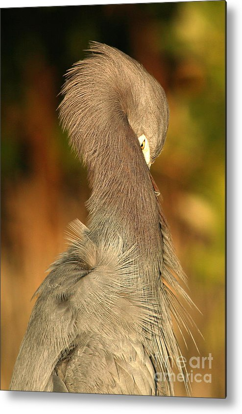 Heron Metal Print featuring the photograph Little Blue Heron Feeling Bashful by Max Allen