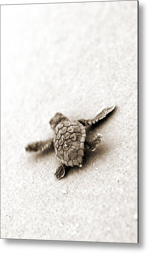 Loggerhead Turtle! Hilton Head Island Metal Print featuring the photograph Loggerhead by Michael Stothard