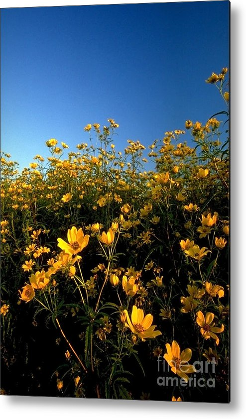 Buttercups Metal Print featuring the photograph Lots Of Buttercups Against A Blue Sky by Sven Brogren