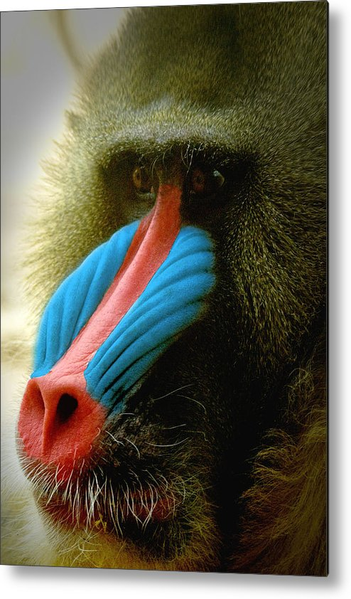 Mandrill Metal Print featuring the photograph Mandrill by Richard Henne