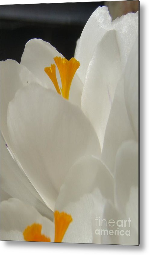 White Yellow Crocus Spring Flowers Petals Metal Print featuring the photograph Morning Light by Kristine Nora