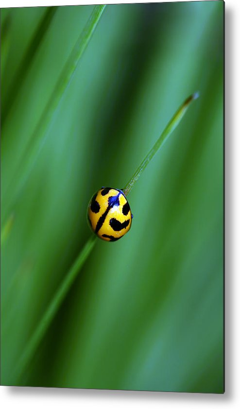 Lady Beetle Metal Print featuring the photograph Nature's Tightrope by Lesley Smitheringale