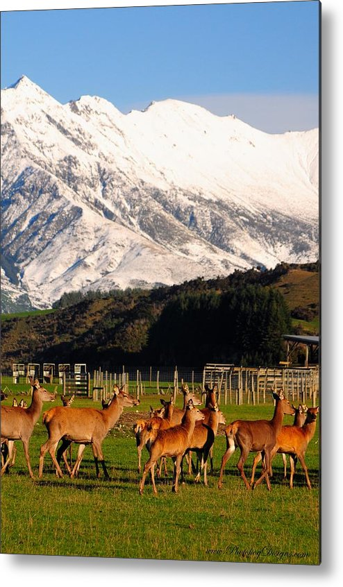 Landscape Metal Print featuring the photograph New Zealand Deer 3497 by PhotohogDesigns