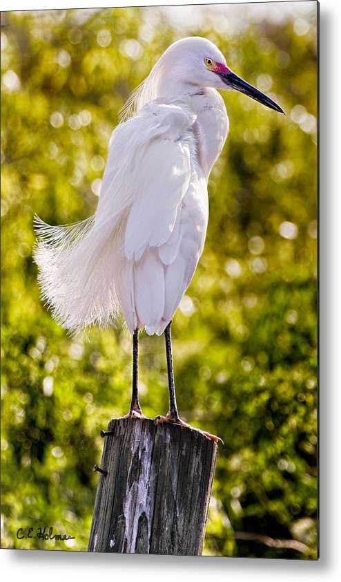 snowy Egret Metal Print featuring the photograph On Watch by Christopher Holmes
